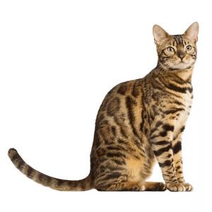 Krmivo pre bengálske mačky