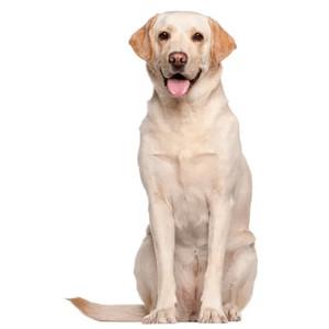 Granule pre Labrador retrívera