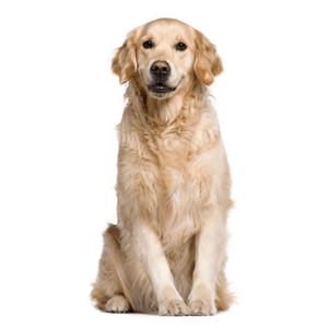 Krmivo pre dospelých psov