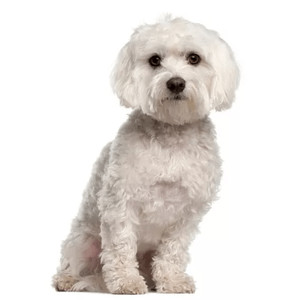 Granule pre maltézske psíky