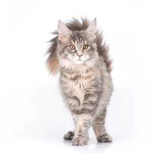 Krmivo pre mainské mývalie mačky