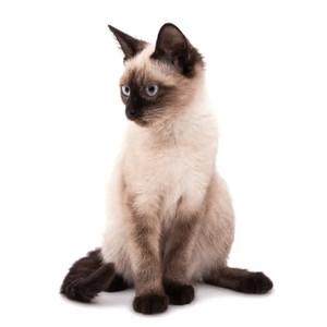 Krmivo pre siamské mačky