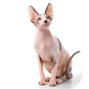 Krmivo pre sphynx mačky