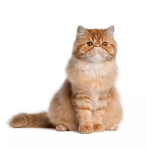 Krmivo pre perzské mačky